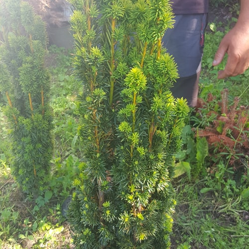 Europinis kukmedis -'Fastigiata Robusta' (Taxus baccata) - Sodinukas.lt