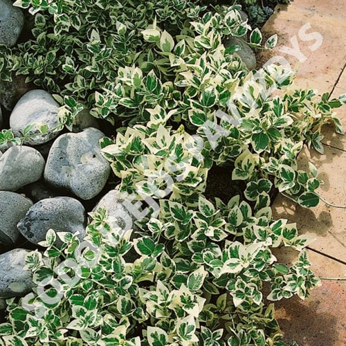 Fortūno ožekšnis 'Emerald Gaiety' (Euonymus fortunei) - Sosinukas.lt