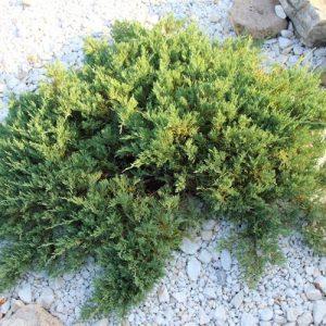 Horizontalusis kadagys - Blue Chip (Juniperus horizontalis) - Sodinukas.lt