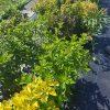 Japoninė lanksva Golden Princess (Spiraea japonica) - Sodinukas.lt