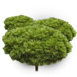 Kalninė pušis (Skiepyta) - (Pinus cembra) - Sodinukas.lt
