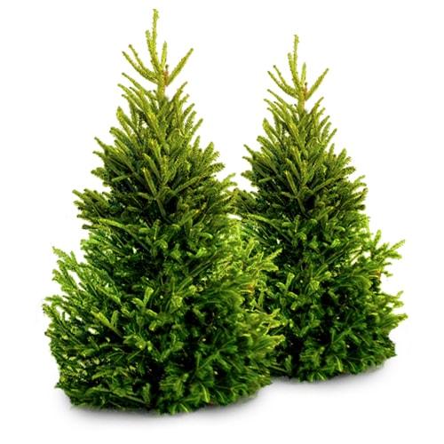 Kalninė pušis Tajga (Pinus mugo) - Sodinukas.lt