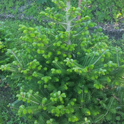 Kalninė pušis Tajga (Pinus mugo) e - Sodinukas.lt