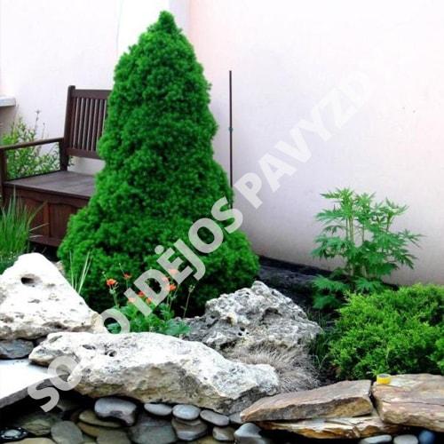 Kanadinė Eglutė (Picea glauca conica) - Sodinukas.lt