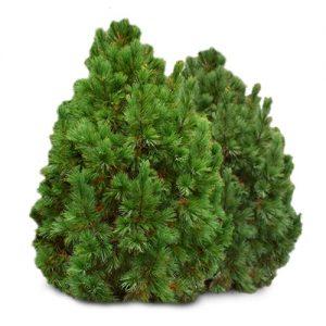 Kedrinė pušis (Pinus cembra) - Sodinukas.lt