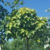 Klevas paprastasis -'Globosum' (Acer platanoides) - Sodinukas.lt