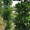 Paprastasis ąžuolas (Quercus robur) - Sodinukas.lt