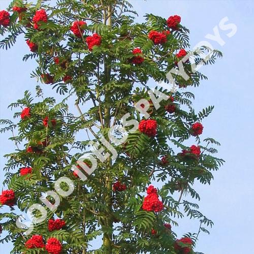Paprastasis šermukšnis (Sorbus aucuparia) - Sodinukas.lt