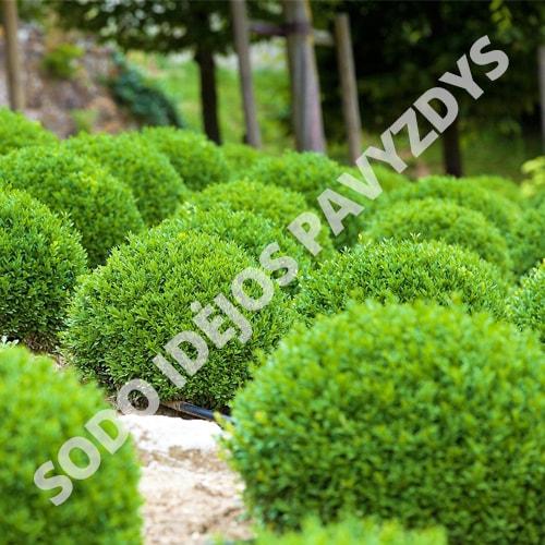Paprastasis buksmedis (Buxus sempervirens) - Sodinukas.lt
