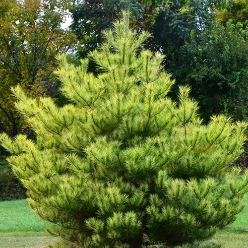 Pušis - 'Kleiner Wimbachi' (Pinus densiflora) - Sodinukas.lt