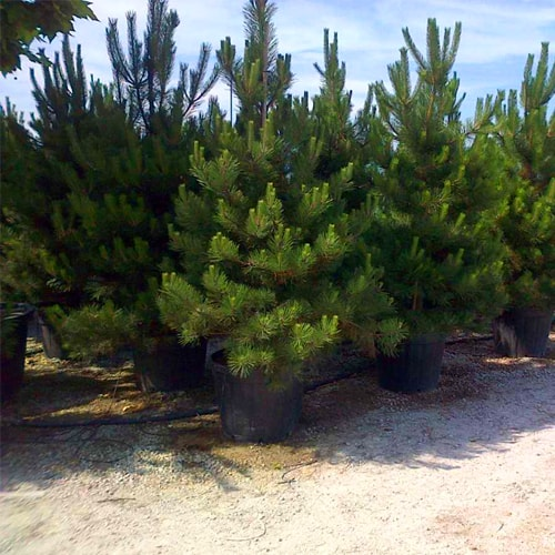 Pušis juodoji - 'PYRAMIDALIS' (Pinus nigra) - Sodinukas.lt