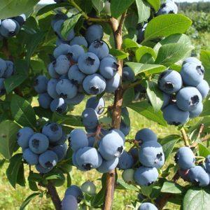 Sodinė šilauogė Bluecrop (Vaccinium x covilleanum) - Sodinukas.lt
