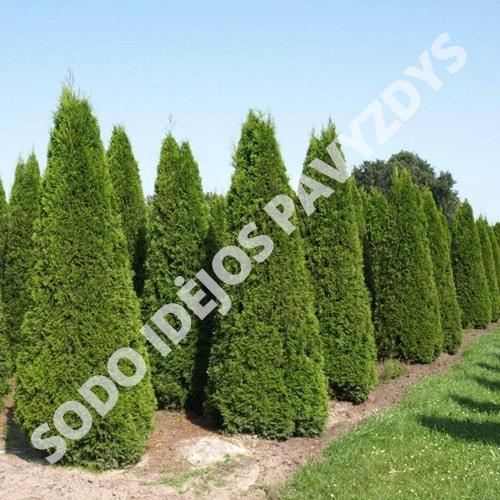 Tuja Brabant (Thuja occidentalis) - Sodinukas.lt