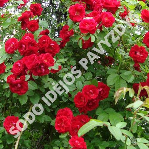 Vijoklinės rožės - Vamd - Sodinukas.lt