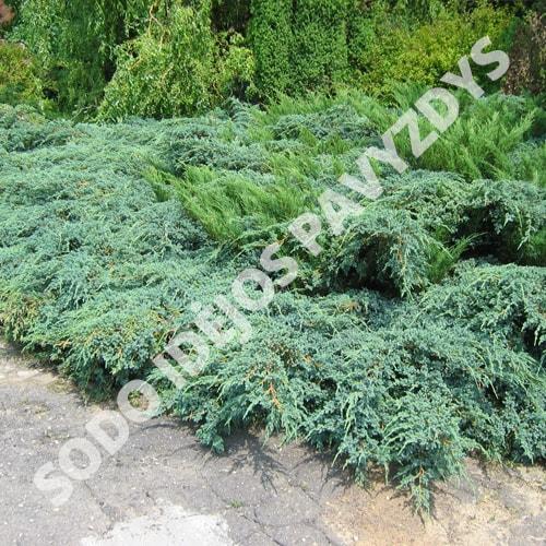 Zvynuotasis kadagys - Blue Carpet (Juniperus squamata) - Sodinukas.lt