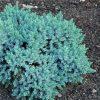 Zvynuotasis kadagys - Blue Star (Juniperus squamata) - Sodinukas.lt