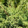 Zvynuotasis kadagys Blue Star (Juniperus squamata) - Sodinukas.lt