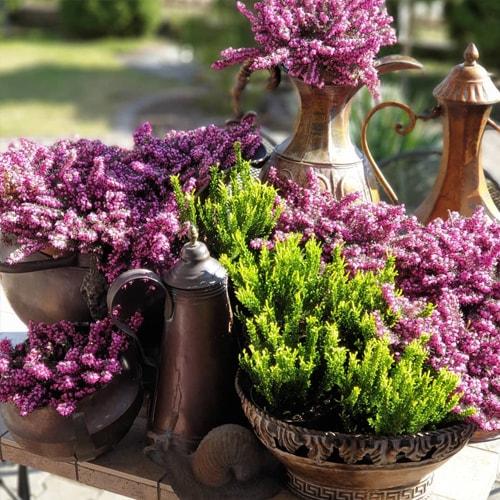 Šilinis viržis (Calluna vulgaris)