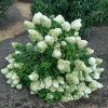Šluotelinė hortenzija - 'Bobo' (Hydrangea paniculata)