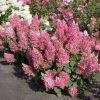 Šluotelinė hortenzija - 'Candlelight' (Hydrangea paniculata)