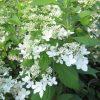 Šluotelinė hortenzija - 'Confetti' (Hydrangea paniculata)