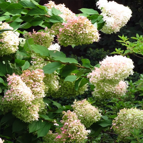 Šluotelinė hortenzija - Limelight (Hydrangea paniculata) - Sodinukas.lt