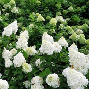 Šluotelinė hortenzija - 'Polar Bear' (Hydrangea paniculata) - Sodinukas.lt