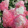 Šluotelinė hortenzija - 'Vanille Fraise' (Hydrangea paniculata)