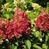 Šluotelinė hortenzija - Wim's Red (Hydrangea paniculata)
