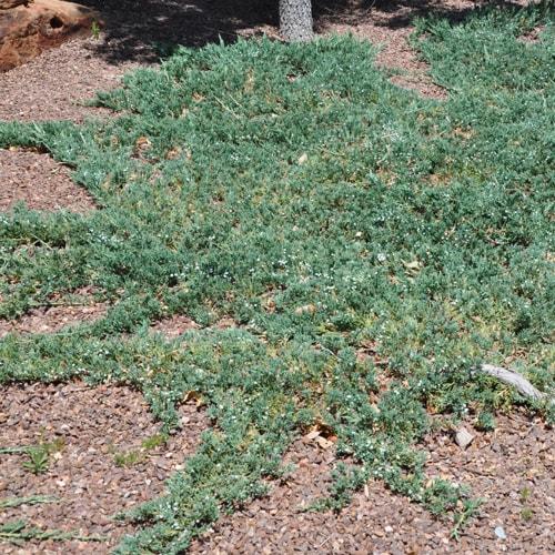 Žvynuotasis kadagys - Wiltonii (Juniperus horizontalis)