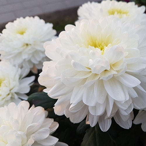 Chrizantema (Chrysantemum)