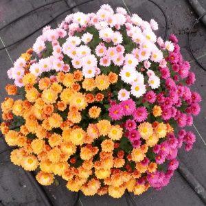 Chrizantema (Chrysantemum)