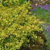 Tunbergo raugerškis (Berberis thunbergii) - Aurea - Sodinukas.lt