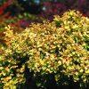Tunbergo raugerškis (Berberis thunbergii) - Goldiata - Sodinukas.lt