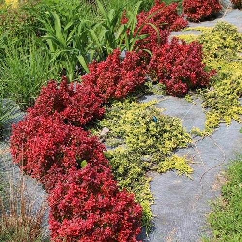 Tunbergo raugerškis (Berberis thunbergii) - Green Carpet - Sodinukas.lt