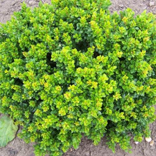 Tunbergo raugerškis (Berberis thunbergii) 'Kobold' Sodinukas.lt