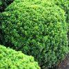 Tunbergo raugerškis (Berberis thunbergii) - Kobold - Sodinukas.lt